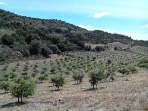 réhabilitation plantation truffe 66
